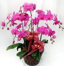Sepet içerisinde 5 dallı lila orkide  Siirt çiçek yolla , çiçek gönder , çiçekçi