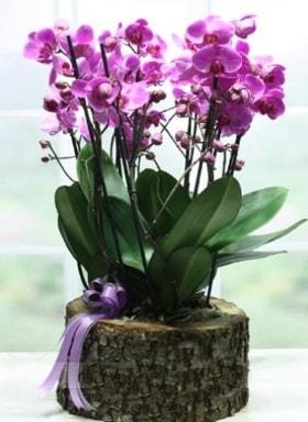 Kütük içerisinde 6 dallı mor orkide  Siirt çiçek yolla , çiçek gönder , çiçekçi
