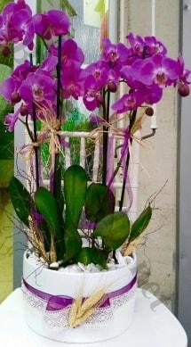 Seramik vazoda 4 dallı mor lila orkide  Siirt ucuz çiçek gönder