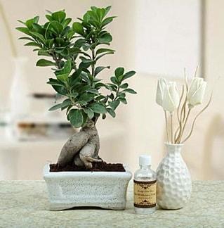 Ginseng ficus bonsai  Siirt çiçekçi telefonları