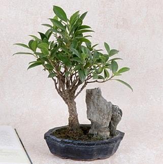 Japon ağacı Evergreen Ficus Bonsai  Siirt çiçek servisi , çiçekçi adresleri