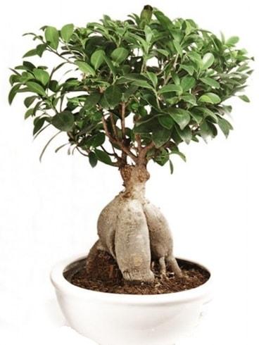 Ginseng bonsai japon ağacı ficus ginseng  Siirt çiçek online çiçek siparişi